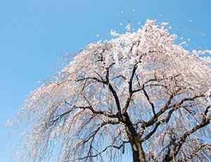いつものまちだに会いにいく その3 「原町田大通りのしだれ桜」